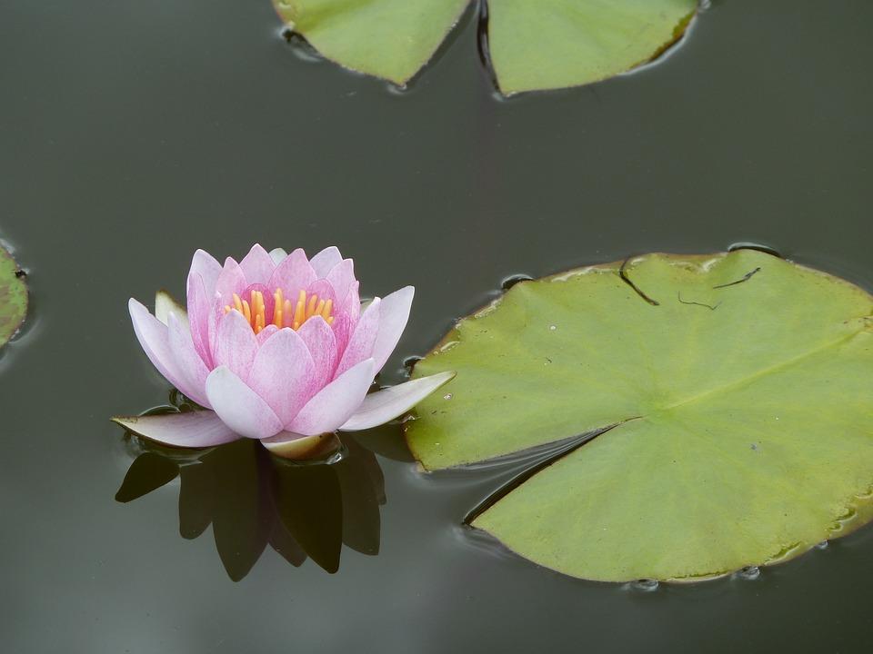 Lotus, Aquatic Plant, Plant, Garden, Plants