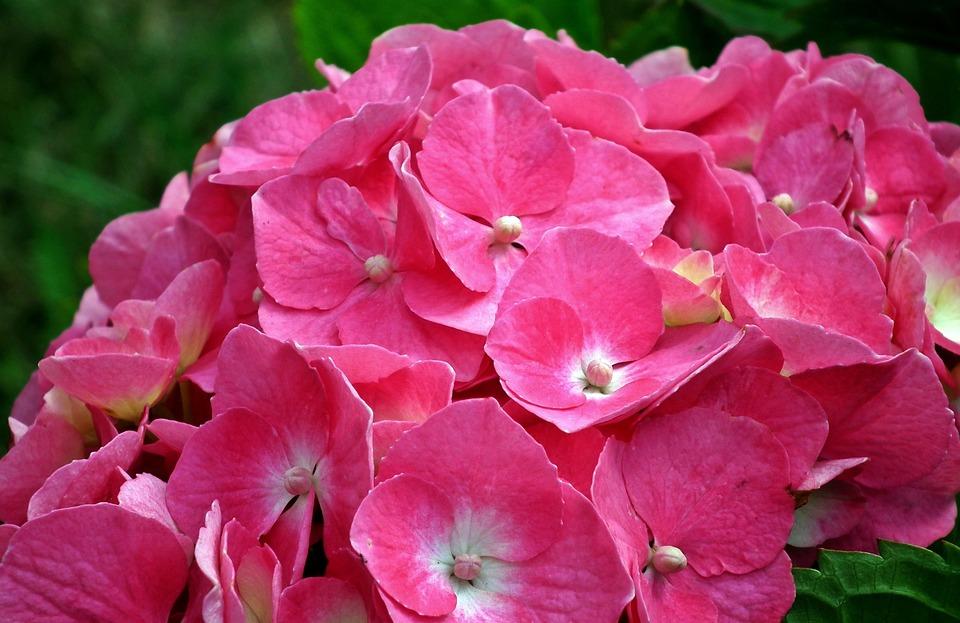 Flower, Hydrangea, Pink, Nature, Plant, Garden, Summer