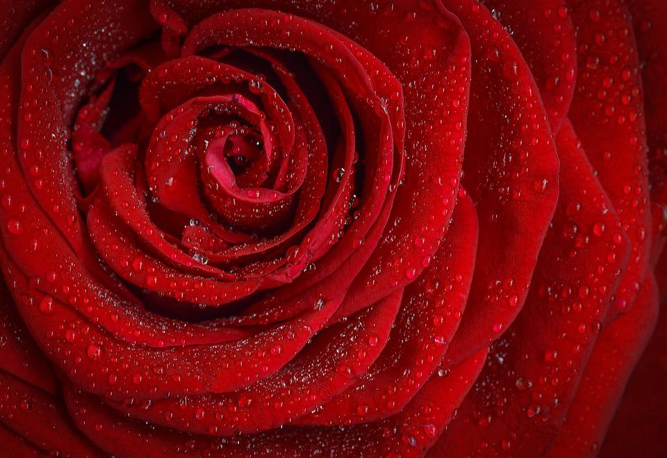 Rose, Red, Flower, Nature, Garden, Macro, Plant, Petals
