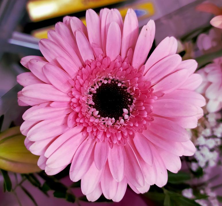 Gerbera, Plant, Flower, The Petals, Pink, Beauty, Macro