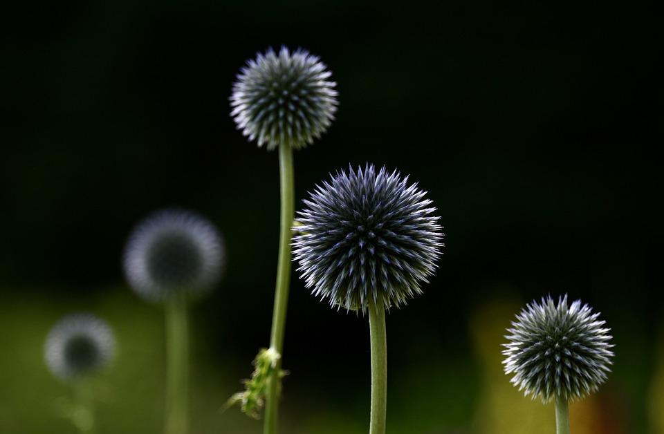 Thistle, Globe Thistle, Plant, Wild Plant, Spherical