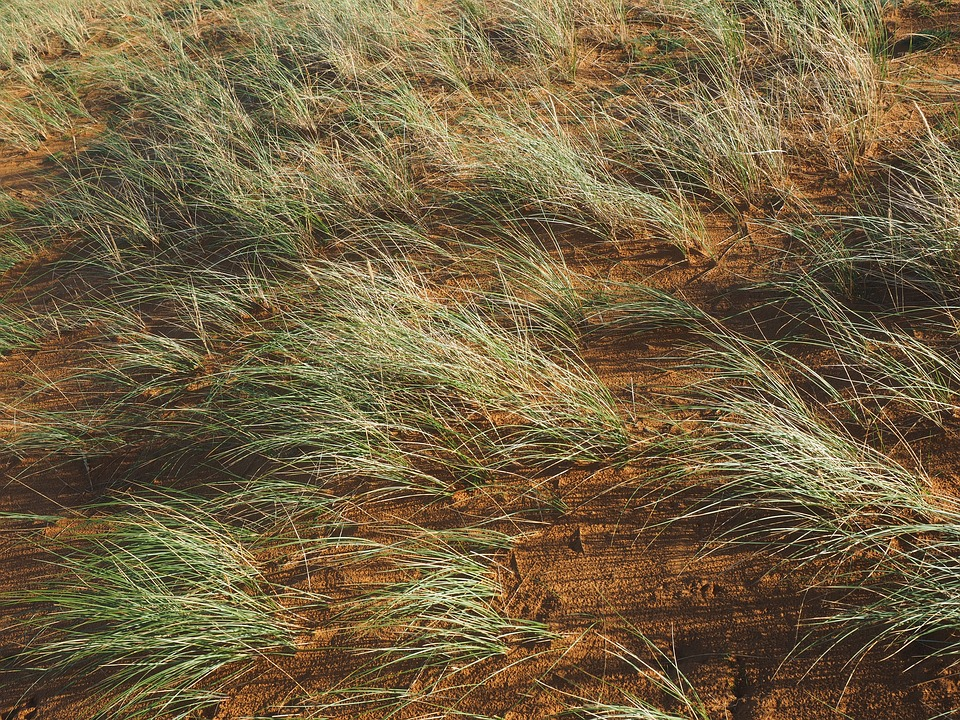 Ordinary Beach Oats, Plant, Grass, Ammophila Arenaria