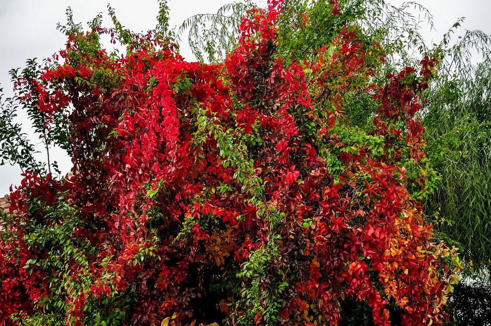 Convolvulus, Bush, Colorful, Tree, Nature, Green, Plant