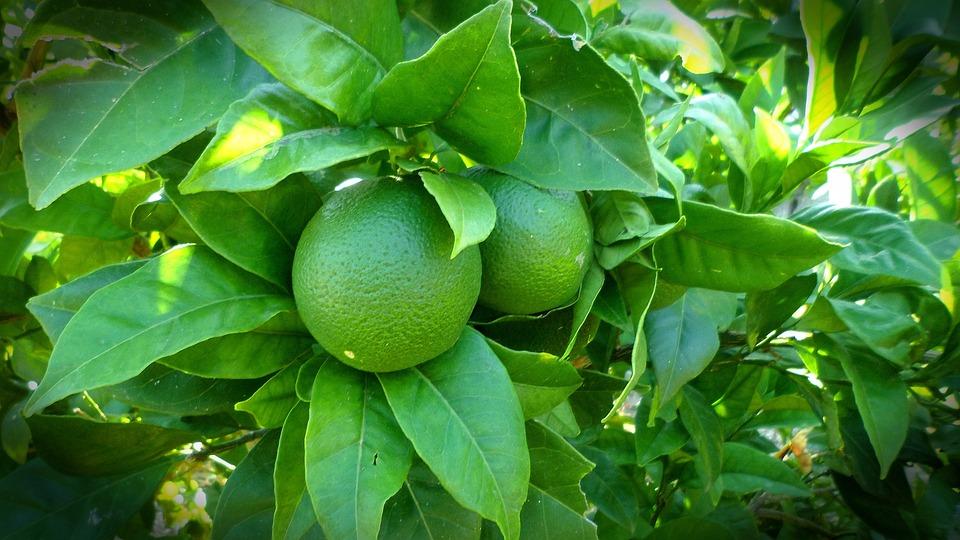 Lemon, Tree, Lime, Green, Nature, Plant, Leaf, Garden
