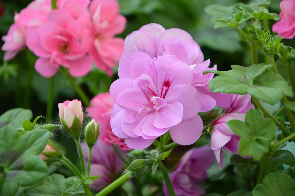 Flower, Garden, Plant, Pink Flower, Green Leaves