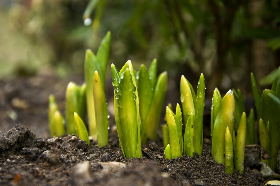 Tulip, Green, Spring, Plant, Nature, Flower, Bed