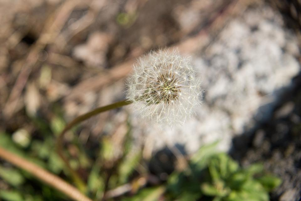 Dandelion, Spring, Macro, Nature, Plant, Greens