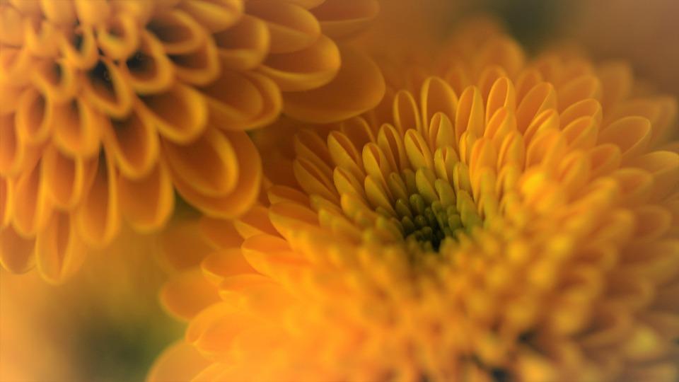 Chrysanthemums, Flowers, Plant, Hardy Garden Mum