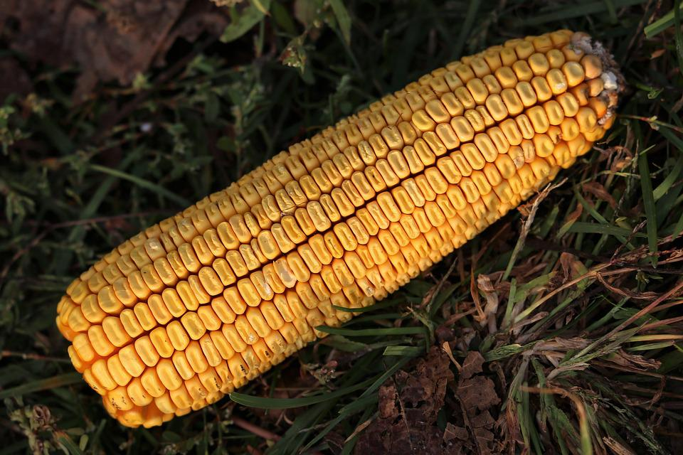Corn Cob, Harvest, Yellow, Food, Agriculture, Plant