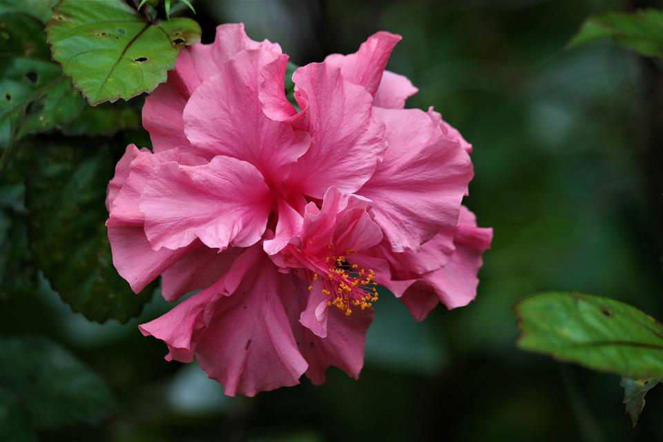 Blossom, Bloom, Flower, Plant, Pink, Hibiscus, Tropical