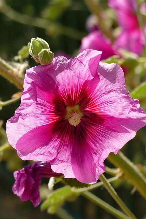 Hollyhock, Alcea Rosea, Malvaceae, Rose, Flower, Plant