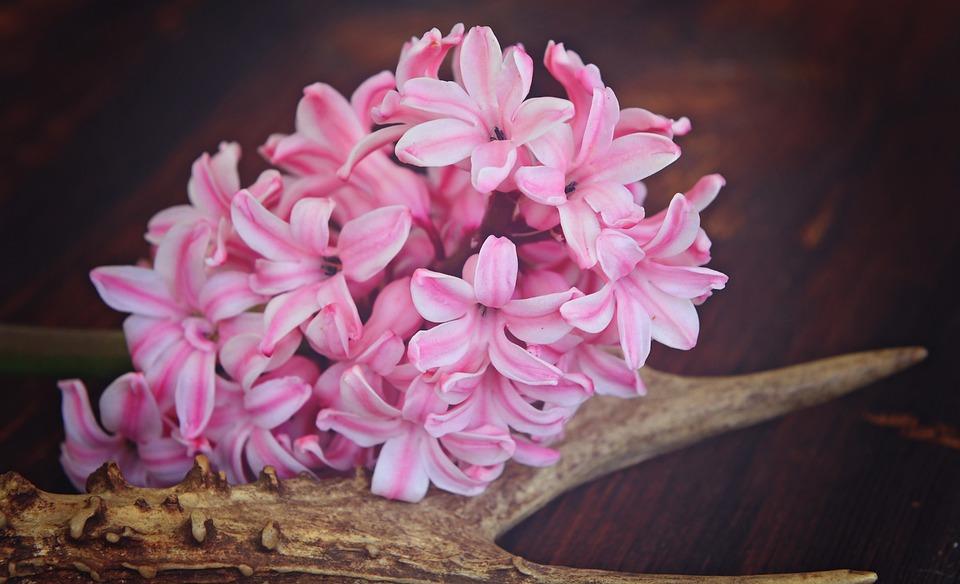 Hyacinth, Flower, Flowers, Pink, Plant, Spring Flower
