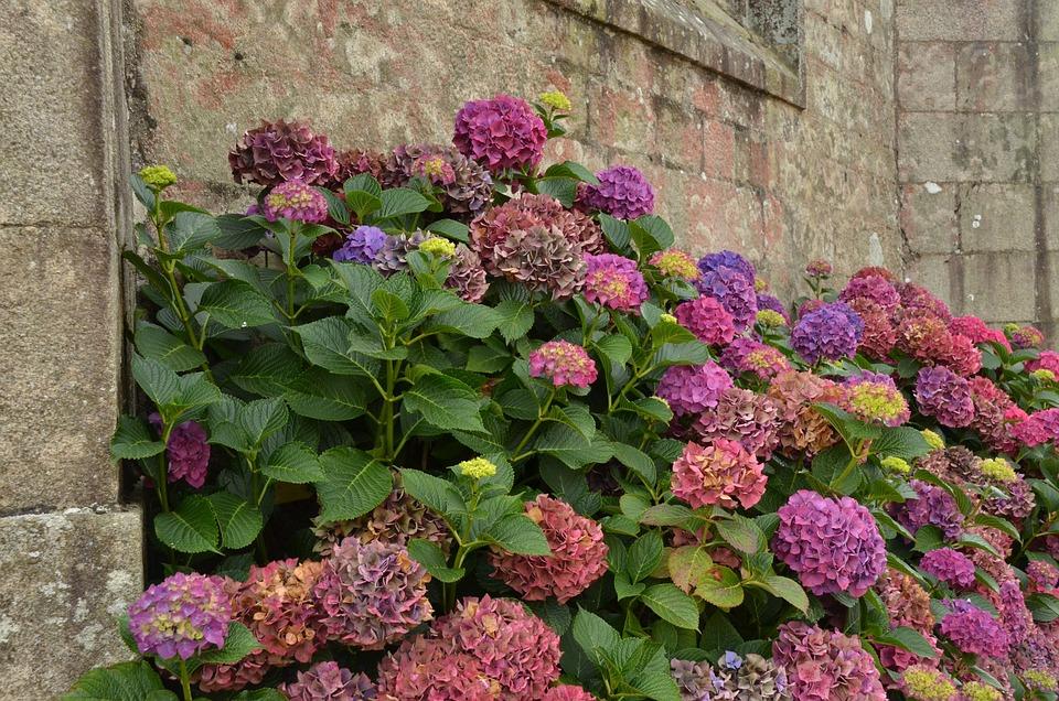 Wall, Hydrangea, Plant, Pink, Flora