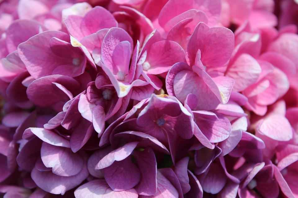 Hydrangeas, Flowers, Petals, Violet, Beauty, Plant