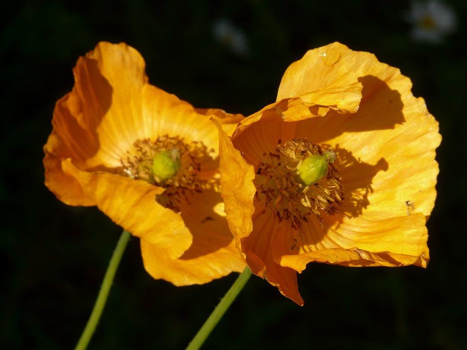 Iceland Poppy, Poppy, Flower, Plant, Back Light, Orange