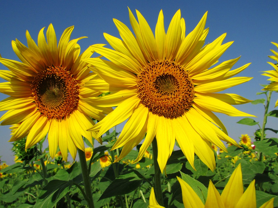 Sunflower, Flower, Summer, Plant, Yellow, India
