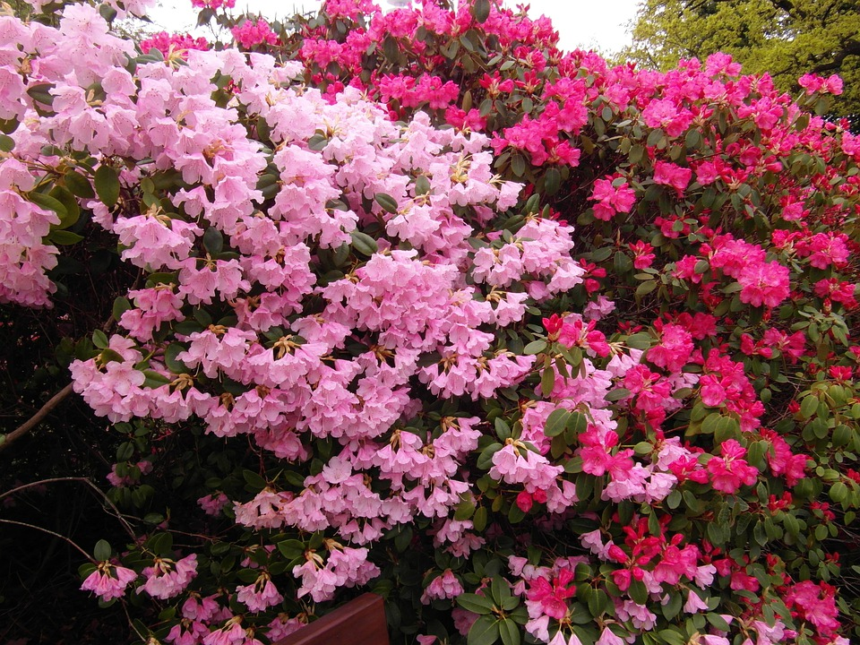 Rhododendron, Japanese Garden, Flowers, Spring, Plant