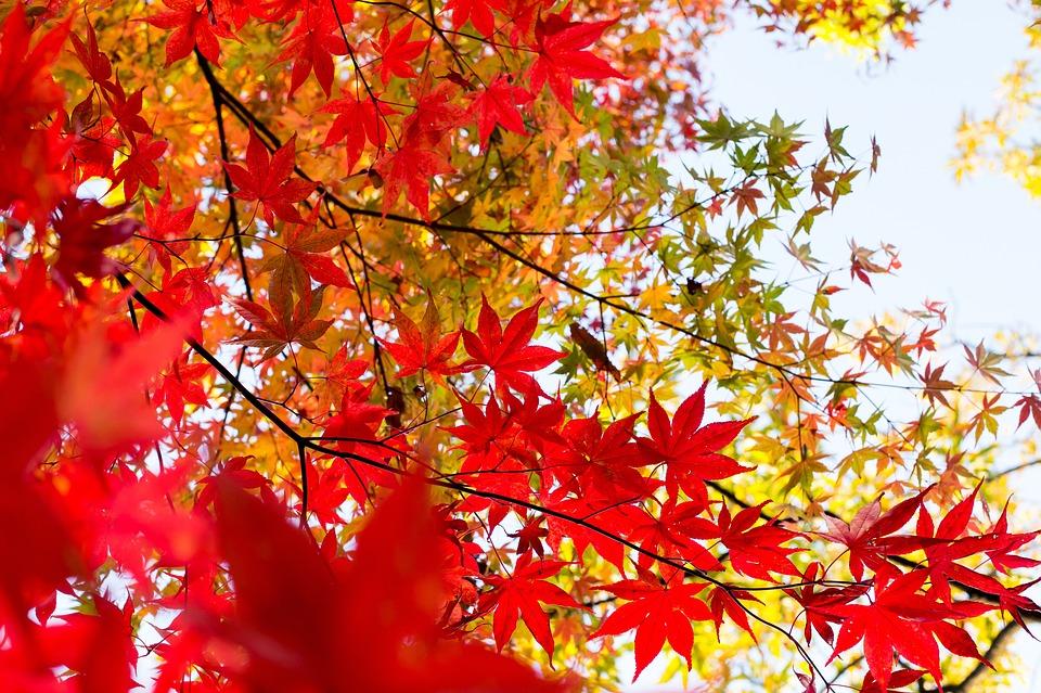 Plant, Foliage, Japan, Kaede, Autumnal Leaves, Autumn