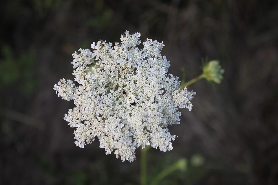 Lace, Flower, Daucus Carota, Plant, White, Nature