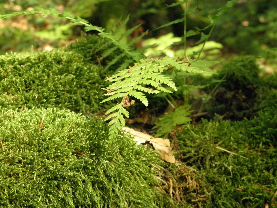 Moss, Moss Covered, Landscape, Fern, Plant, Leaf