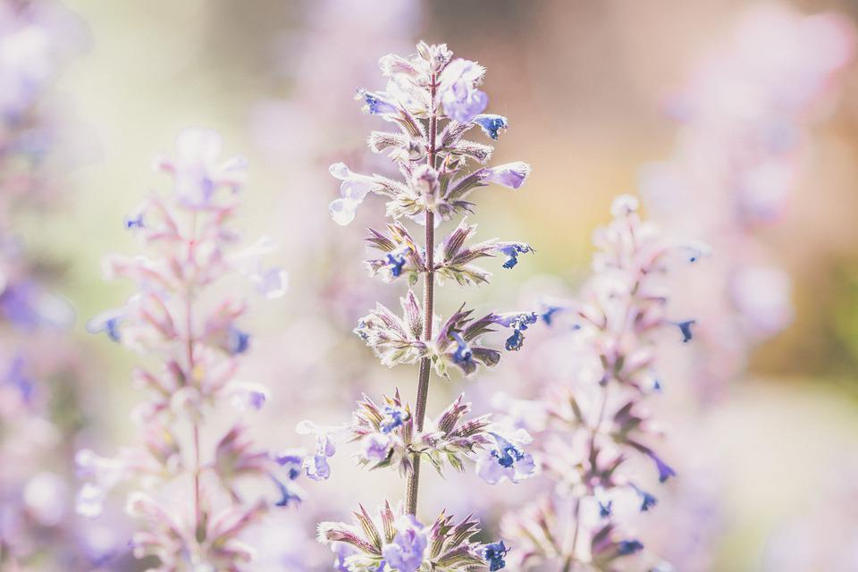 Lavender, Flowers, Plant, Purple Flowers, Bloom