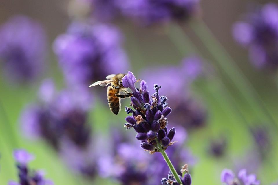 Flower, Nature, Lavender, Bee, Plant, Close, Summer