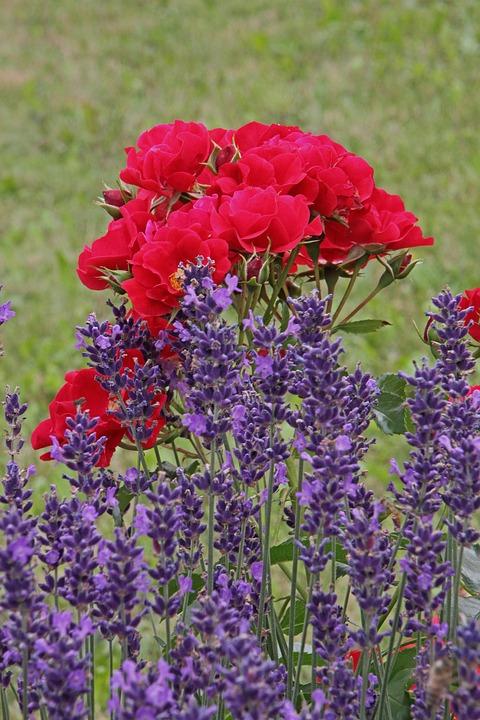 Flowers, Lavender, Garden, Roses, Beauty, Plant, Flora