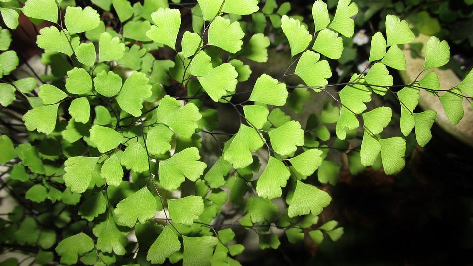 Fern, Leaf, Flora, Plant, Garden