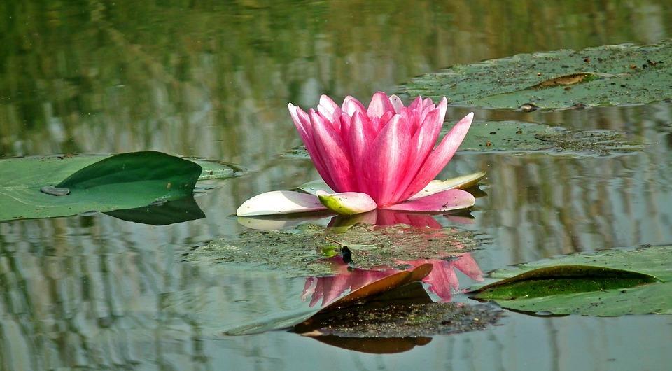 Nature, Plant, Leaf, Flower, Water Lily, Summer, Pond
