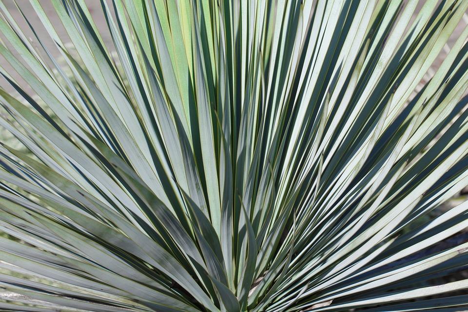 Nature, Leaf, Plant, Cactus, Background, Yucca