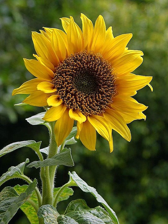 Sunflower, Flower, Golden, Yellow, Plant, Leaves, Crop