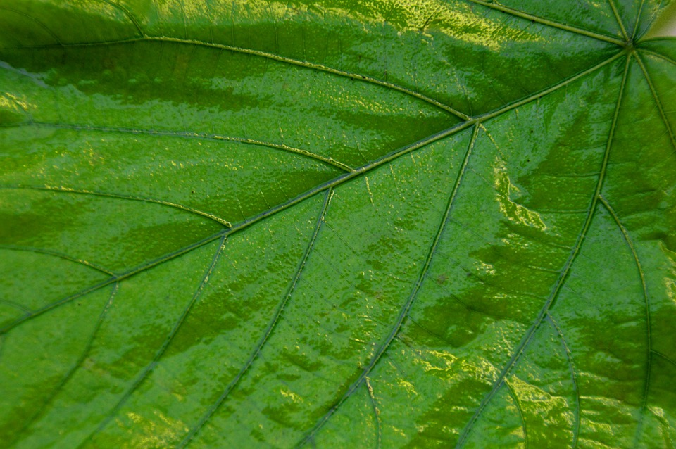 Giant Leaf, Leaves, Green, Plant, Nature, Close