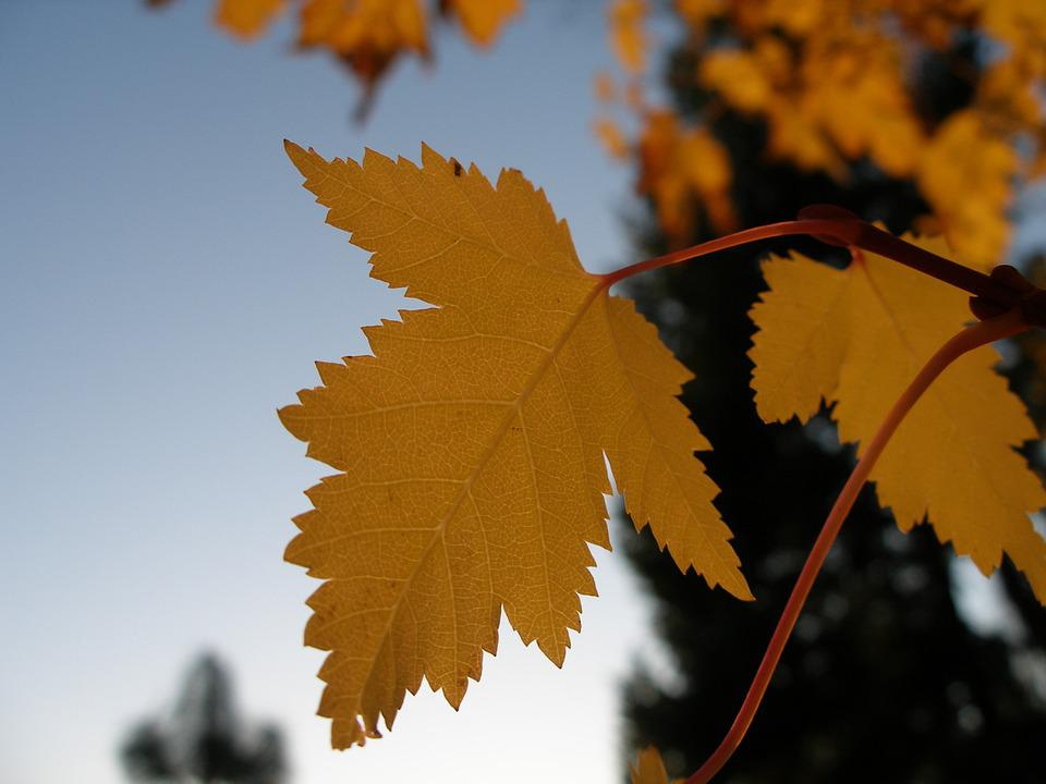 Maple, Autumn, Fall, Leaves, Plant, Natural, Botanical