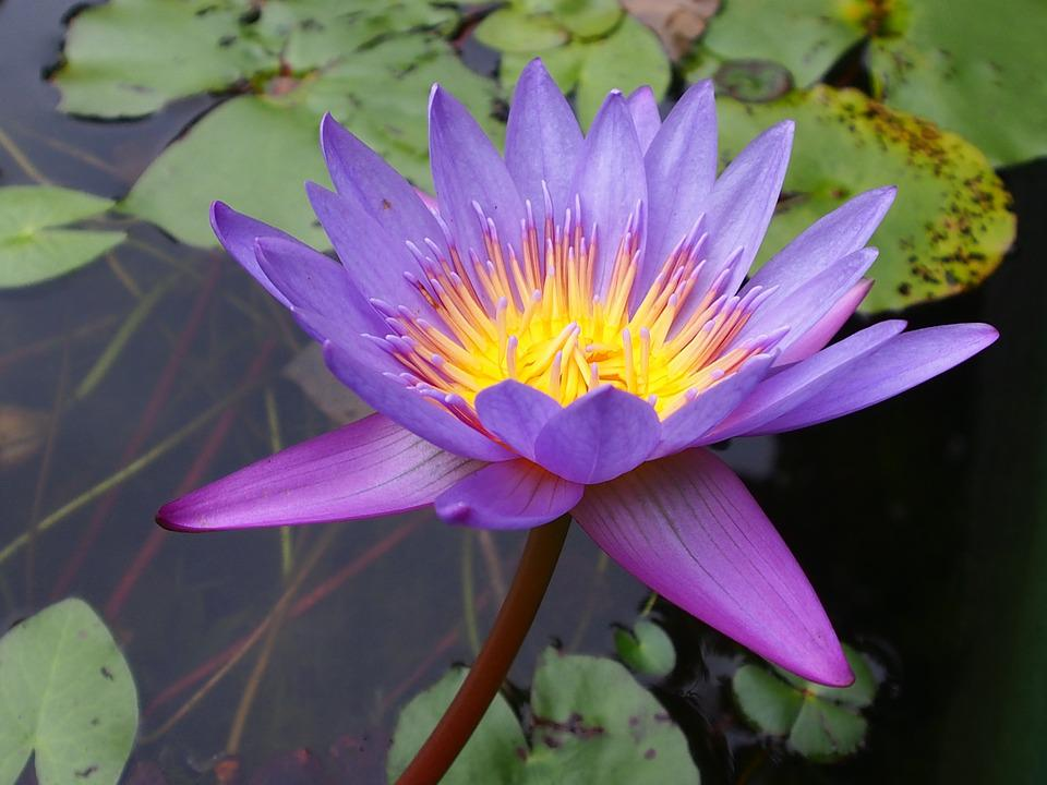 Lotus, Purple, Plant, Flower, Natural