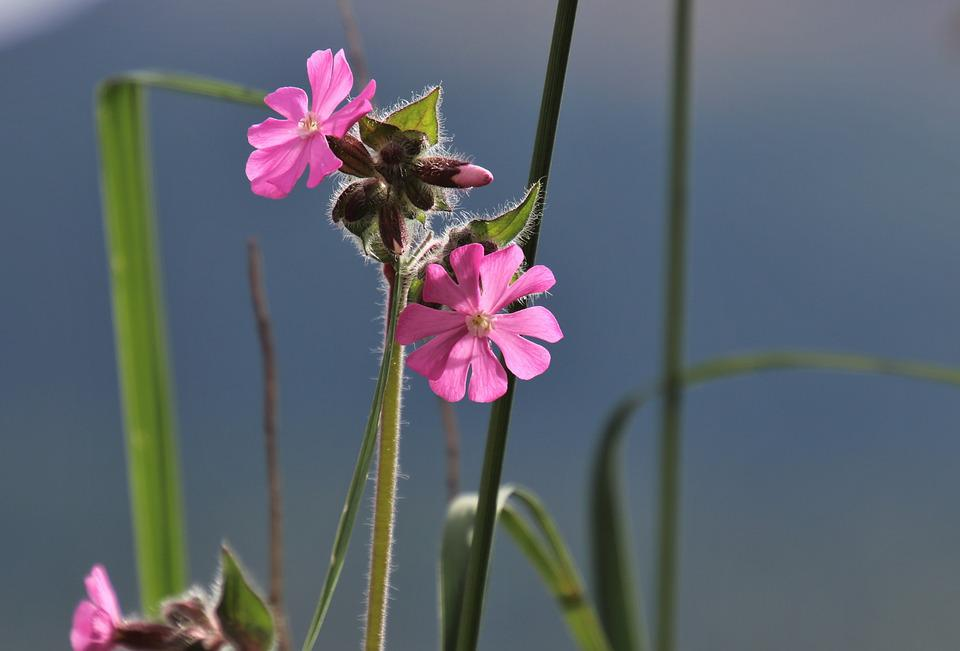 Spring, Grass, Pink, Plant, Garden, Natural, Macro