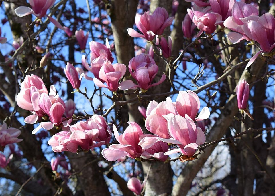 Free photo plant magnolia pink magnolia nature tree garden max pixel pink magnolia magnolia tree plant garden nature mightylinksfo