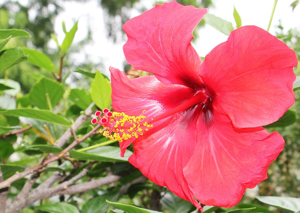 Hibiscus, Flower, Mallow, Plant, Red, Red Flower