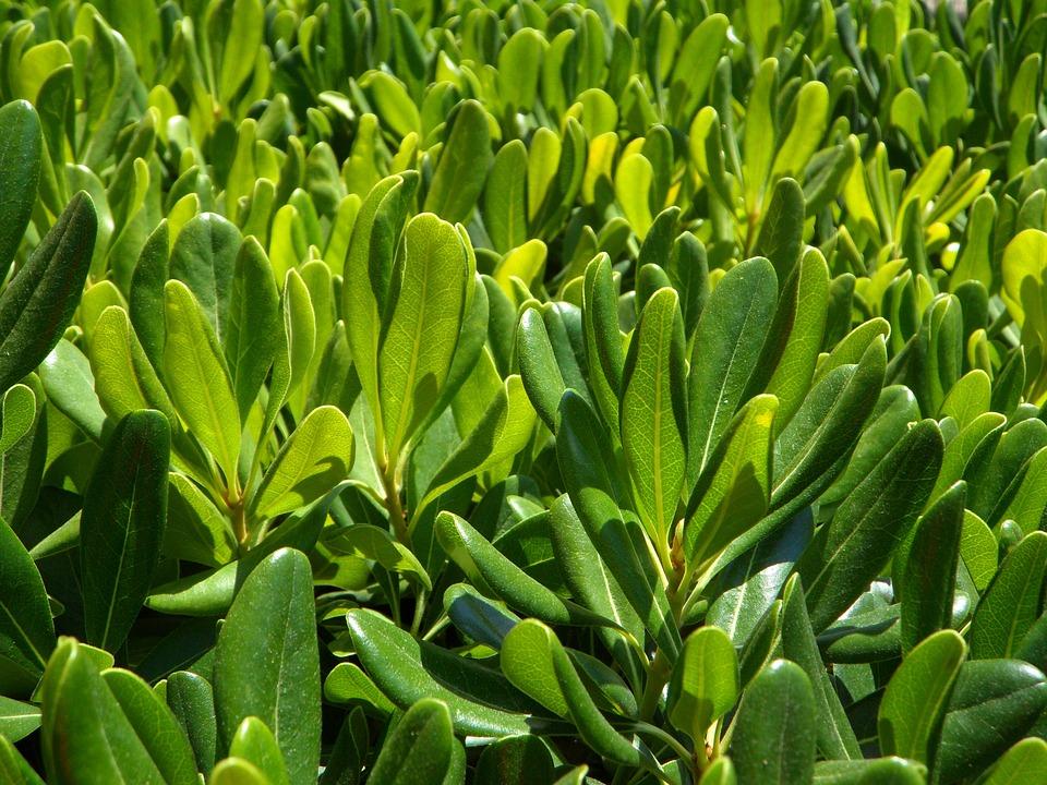 Hedge, Green, Mediterranean, Plant, Leaves, Many