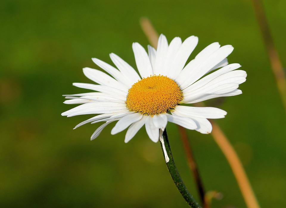 Marguerite, Flower, Blossom, Bloom, Plant, Nature