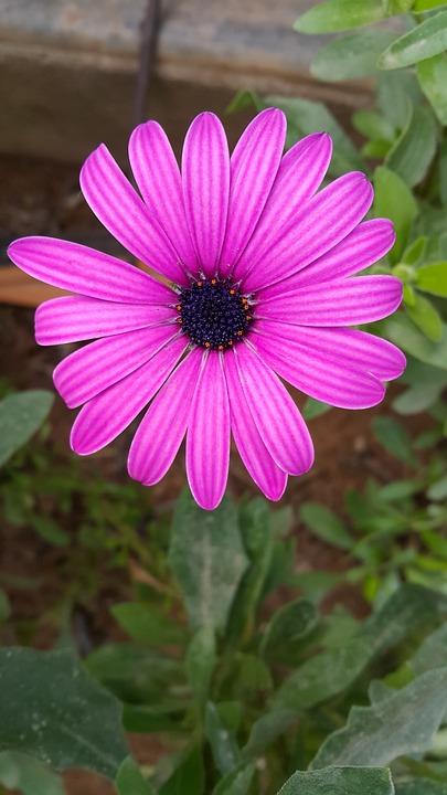 Flower, Marguerite, Plant