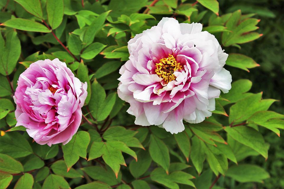 Spring, May, Peony, Flower, Plant, Nature, Garden, Leaf