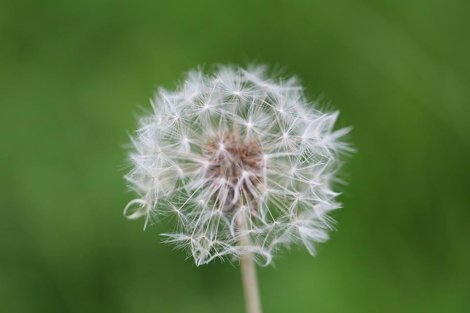 Dandelion, Meadow, Plant, Close, Nature, Flower, Spring