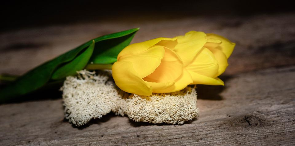 Tulips, Yellow, Flower, Plant, Yellow Flower, Moss