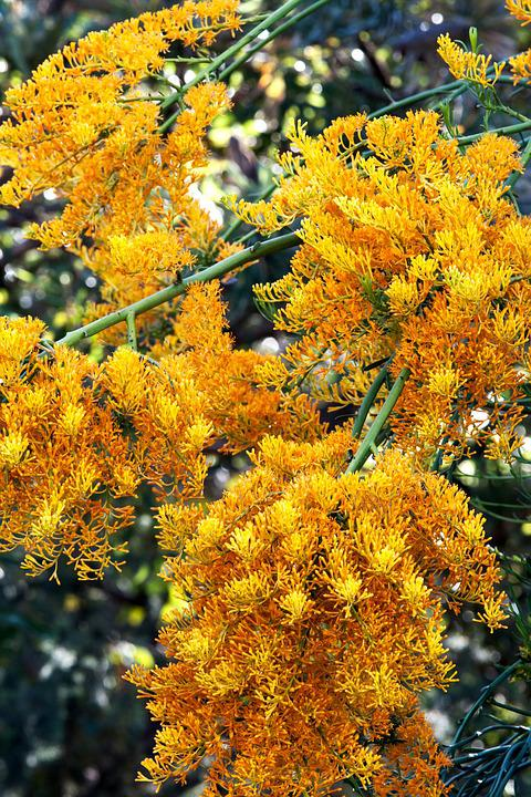 West Australian Christmas Tree, Native, Plant