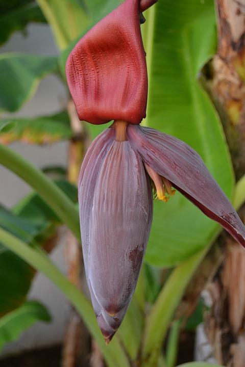 Flower, Flower Banana, Floral, Banana, Plant, Natural