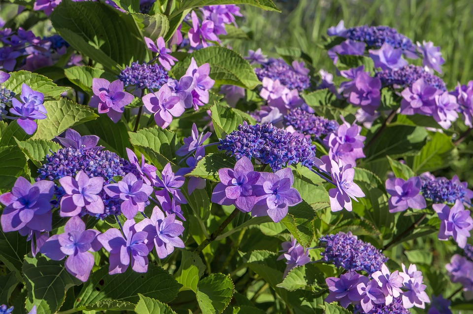 Hydrangea, Flowers, Natural, Plant, Summer, Beautiful