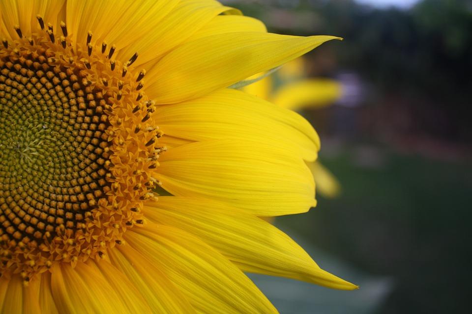 Sunflower, Petals, Yellow, Summer, Plant, Natural