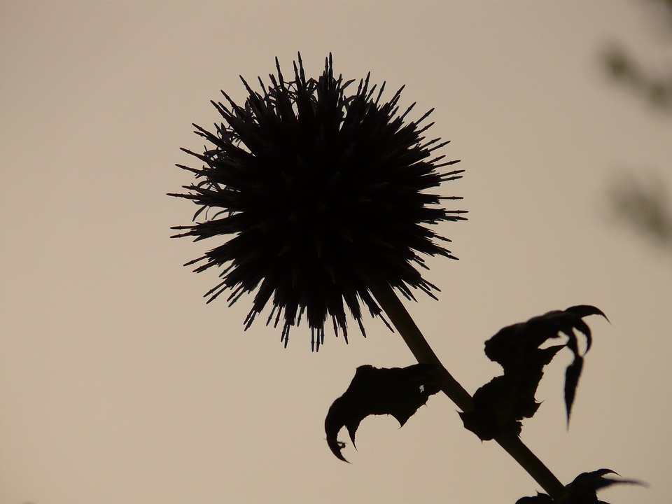 Thistle, Back Light, Plant, Nature, Black And White