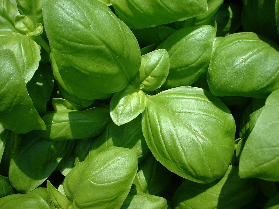 Basil, Plant, Nature, Ocimum Basilicum