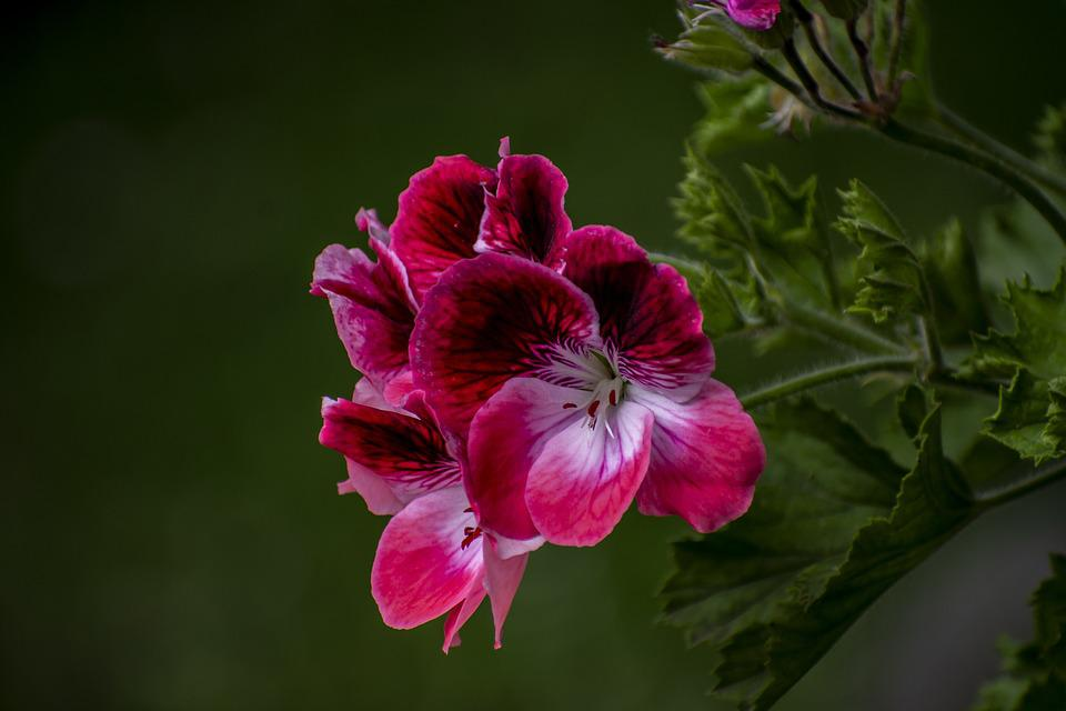 Jeranio, Nature, Flower, Bella, Plant, Garden